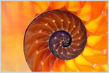 another beautiful nautilus shell image